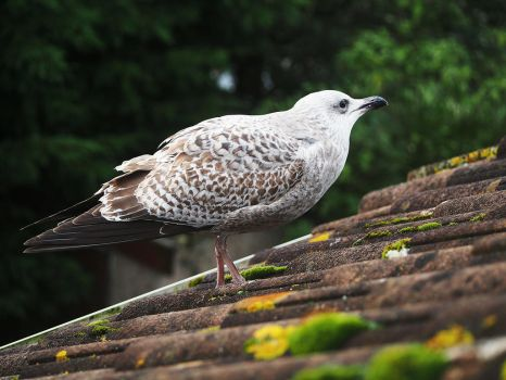 Baby Seagull by CarisaLaine