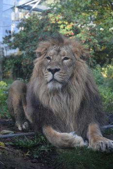 Asiatic Lion by WaltzAroundSaturn