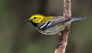 Black-throated Green Warbler by albertoguerra