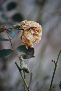 Wilted by John-Saul