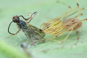 Spitting Spider with Wasp prey by melvynyeo
