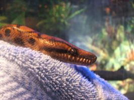 George the Boa by hankinstein