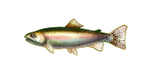 Rainbow Trout by noebelle