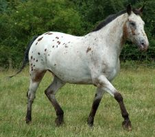 Appaloosa 3 by DappledLightStock