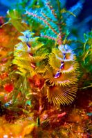 Christmas tree worm by DevilDiver
