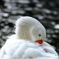 Goose 4 by Eagle-Photography