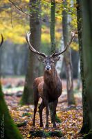 Autumn picture - deer in the wild by Seb-Photos