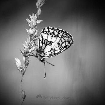 0482 - Melanargia Galathea by Somebody--else