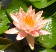 Water Lily - Peach by PixStixStock