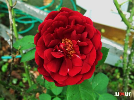 Red Rose by Mottcalem