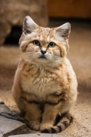 Sand Cat by darkSoul4Life