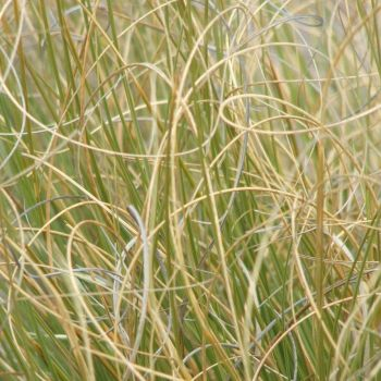 Curly Grasses by starsista