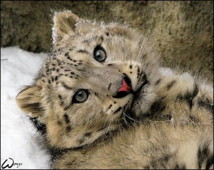 Baby snow leopard: spoil me by woxys