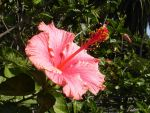 Hibiscus Flower: Right Stock by Stock-By-Crystal