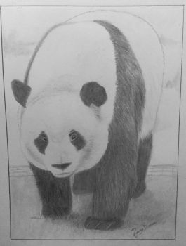 Panda drawing  by nancybraun1997