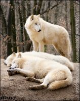 Alpha male and their sweet dreams by woxys