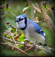The Blue Jay by JocelyneR