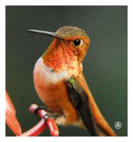 Beautiful Hummingbird by manwithashadow
