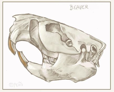Beaver Skull Sketch by Reptangle