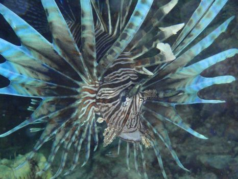 Common Lion-Fish by little79bear