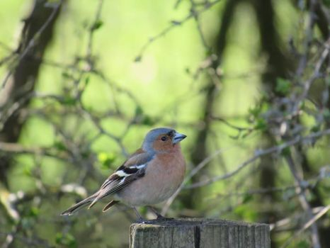 Chaffinch at Avebury by EleanorMayDodson