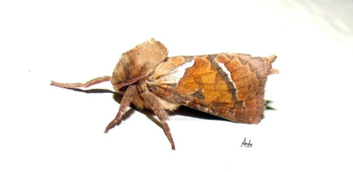 Moth drying its wings 2 by andy-goldstraw