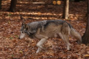 Gray Wolf Stock 18 by HOTNStock