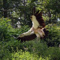vulture IV by mimose-stock