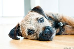 Border terrier by sarasphotography