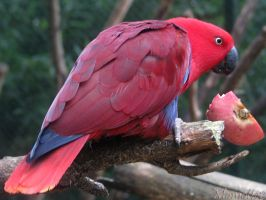 Eclectus parrot for birthday by Momotte2