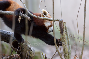 Little red panda. by Ravenith