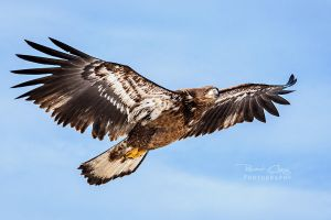 .:Juvenile Eagle II:. by RHCheng