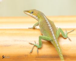 Green Anole by EdgedFeather