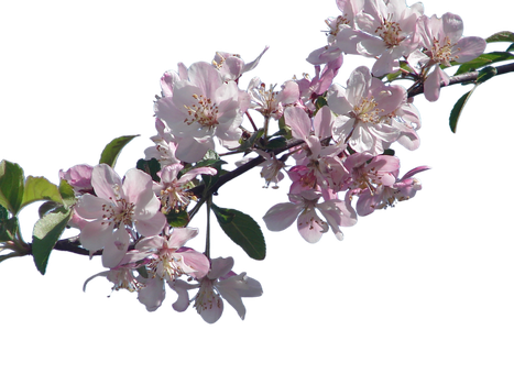Cherry Blossom Branch png by SuicideOmen