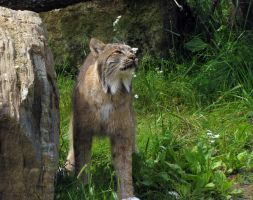 Canada Lynx 1 by ShadowsStocks