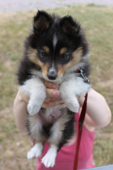 Sheltie by Ewanes