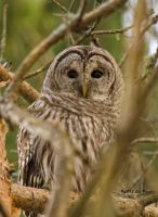 Barred Owl by Les-Piccolo