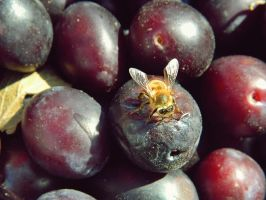 bee on plum by MsManfuly