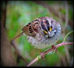 A White-throated Sparrow by JocelyneR