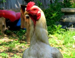 Rooster by IronMAYden99