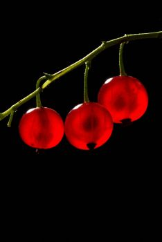 Red Currants by biawak