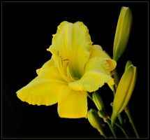 YELLOW DAY LILLY by THOM-B-FOTO