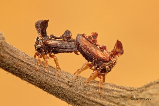 Mating Tree Hopper by melvynyeo