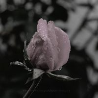 one of the last october roses in 2015 by bindii