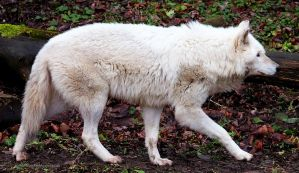 White Wolf Stock 22 by HOTNStock