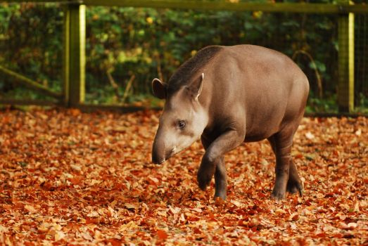 Autumn Tapir by Shadow-and-Flame-86