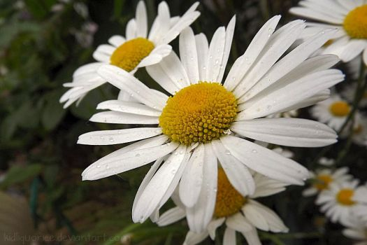 Ox eye daisy - Marguerite by kidliquorice