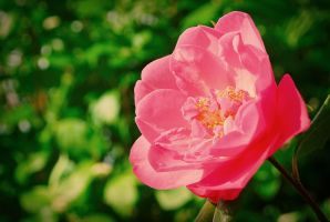 Camellia with Cherry II by Gerard1972