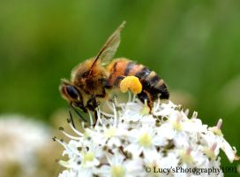 honey bee by LucysPhotography1991
