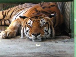 A big cat taking a nap... by ungaman